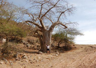 Baobab im Oman, wer hätte das gedacht?
