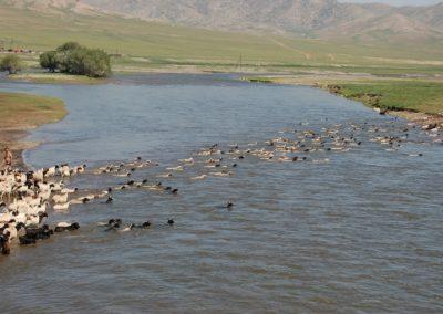 Die Schafherde muss den Fluss überqueren