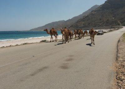 Kamele an der Delfinbucht