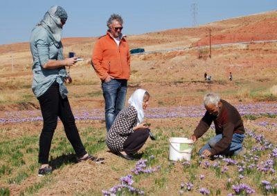 Mühsame Handarbeit bei der Safranernte