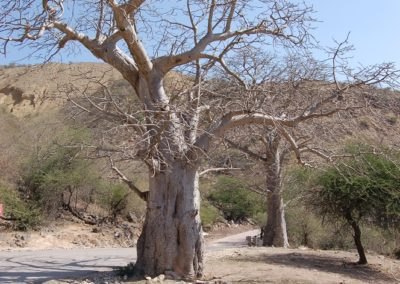 Baobab ausserhalb von Afrika sehr selten