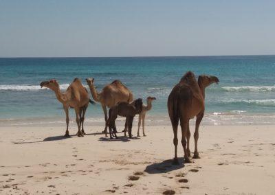 Kamele in Al Fizaiah Beach