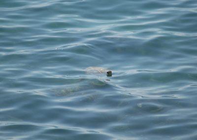 Wasserschildkröte Al Fizaiah Beach